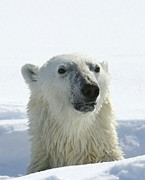 Ursus Maritimus Art - Polar Bear by Louise Murray