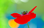 Poppy Print by Silke Magino