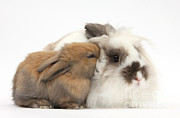 Domestic-pet Posters - Rabbit And Baby Bunny Poster by Mark Taylor