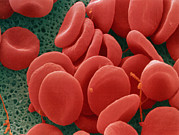 Photos With Red Photo Prints - Red Blood Cells Print by Power And Syred