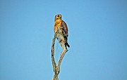Hawk Photographs Prints - Red Shouldered Hawk Print by Wild Expressions Photography