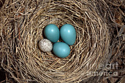American Robin Photos - Robins Nest And Cowbird Egg by Ted Kinsman