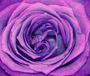 Purple Flora Digital Art Prints - Rose Print by Kristin Kreet