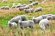 Pastureland Prints - Sheeps Print by MotHaiBaPhoto Prints