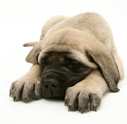 Mastiff Puppy Framed Prints - Sleeping Puppy Framed Print by Jane Burton