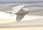 Snowy Owl In Flight Print by Mark Duffy