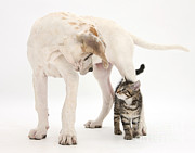 Mastiff Pup Posters - Tabby Kitten & Great Dane Pup Poster by Mark Taylor