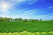 Tea Tree Framed Prints - Tea plantation Framed Print by MotHaiBaPhoto Prints