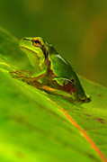 Green Frog Prints - Tree frog Print by Odon Czintos
