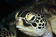 Snorkeling Photos - Turtle by MotHaiBaPhoto Prints