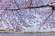 Flower Memorial Photography Posters - Usa, Washington Dc, Cherry Tree In Blossom With Jefferson Memorial In Background Poster by Tetra Images