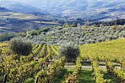 Grapevines Framed Prints - Vineyards and Olive Groves Framed Print by Jeremy Woodhouse