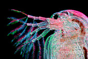 Water Flea Daphnia Magna Print by Ted Kinsman