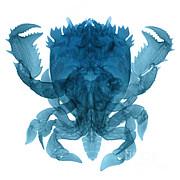 Ted Kinsman - X-ray Of Deep Water Crab