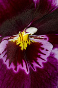 Closeup Photo Prints - Exotic Orchids of C Ribet Print by C Ribet