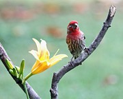Indiana Flowers Framed Prints - House Finch Framed Print by Jack R Brock