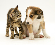 Brown Tabby Posters - Kitten And Pup Poster by Jane Burton