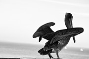 Gray And Black Beak Framed Prints - 554 bw Pelican In Monochrome Framed Print by Chris Berry