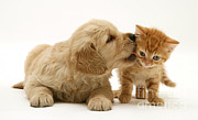 Golden Retriever Puppies Posters - Kitten And Pup Poster by Jane Burton