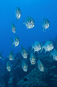 New Britain Acrylic Prints - A School Of Bigeye Trevally, Papua New Acrylic Print by Steve Jones