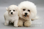 Bichon Frise Photos - Bichon Frise by Jane Burton