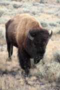 Bison Photo Metal Prints - Bison in Yellowstone National Park Metal Print by Pierre Leclerc