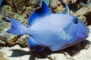 Triggerfish Art - Blue Triggerfish by Georgette Douwma