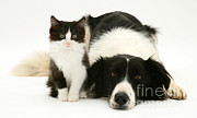 Cute Kitten Photo Posters - Border Collie And Kitten Poster by Jane Burton