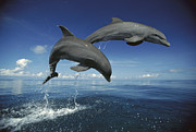 Atlantic Bottlenose Dolphin Prints - Bottlenose Dolphin Tursiops Truncatus Print by Konrad Wothe