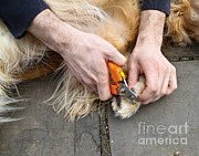 Petcare Prints - Dog Grooming Print by Photo Researchers, Inc.