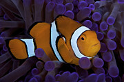 Papua New Guinea Prints - False Ocellaris Clownfish In Its Host Print by Terry Moore