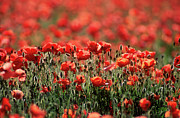 Red Background Prints - Field of poppies. Print by Bernard Jaubert