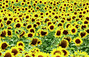 Asteraceae Prints - Field of sunflowers Print by Bernard Jaubert