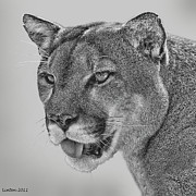 Panther Framed Prints - Florida Panther Framed Print by Larry Linton