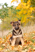 German Shephard Prints - German shepherd dog puppy Print by Waldek Dabrowski