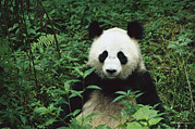 Frontal Metal Prints - Giant Panda Ailuropoda Melanoleuca Metal Print by Cyril Ruoso