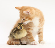 Mallard Ducklings Photos - Ginger Kitten And Mallard Duckling by Mark Taylor
