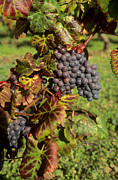 Grape Vineyard Photo Posters - Grapes growing on vine Poster by Bernard Jaubert