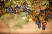 Merlot Photo Metal Prints - Grapes on the Vine Metal Print by Andy Dean