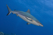 New Britain Prints - Gray Reef Shark. Papua New Guinea Print by Steve Jones