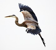 Great Blue Heron Print by Paulette  Thomas