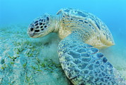Green Sea Turtle Photos - Green Sea Turtle by Alexis Rosenfeld