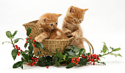 Tabby Art - Kittens With A Sledge by Jane Burton