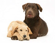 Chocolate Lab Photos - Labradoodle And Labrador Retriever by Jane Burton