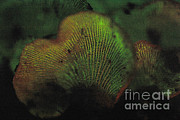 Luminescence Framed Prints - Luminescent Mushroom Panellus Stipticus Framed Print by Ted Kinsman