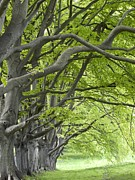 Long-lived Photos - Mature Beech Trees (fagus Sylvatica) by Adrian Bicker