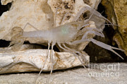 Adaptation Prints - Mclanes Cave Crayfish Print by Dante Fenolio