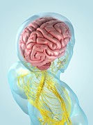 Human Brain Art - Nervous System, Artwork by Sciepro