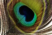 Peacock Feathers Print by Mary Van de Ven - Printscapes
