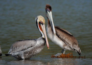 Pelicans Framed Prints - Pelicans Framed Print by Marc Bittan